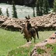 羊を追うジャック